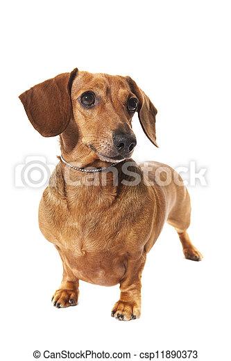 dachshund in studio - csp11890373