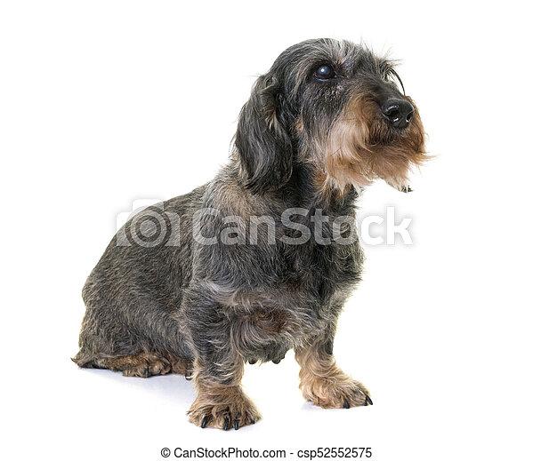 dachshund in studio - csp52552575