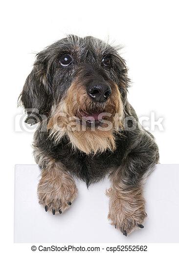 dachshund in studio - csp52552562