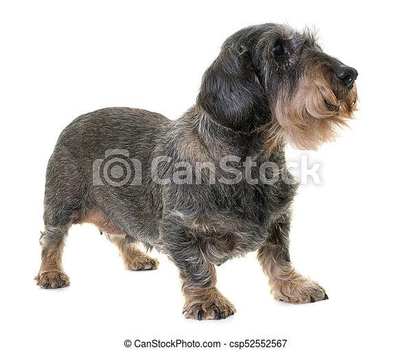 dachshund in studio - csp52552567