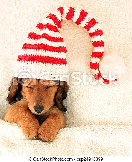 Dachshund puppy - csp24918399