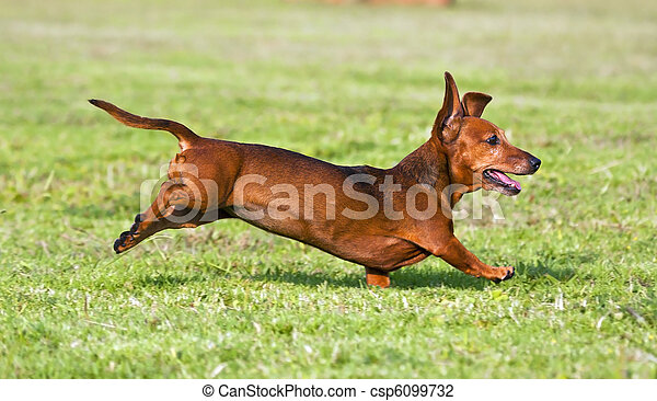 Dachshund running on green grass in sunshine - csp6099732