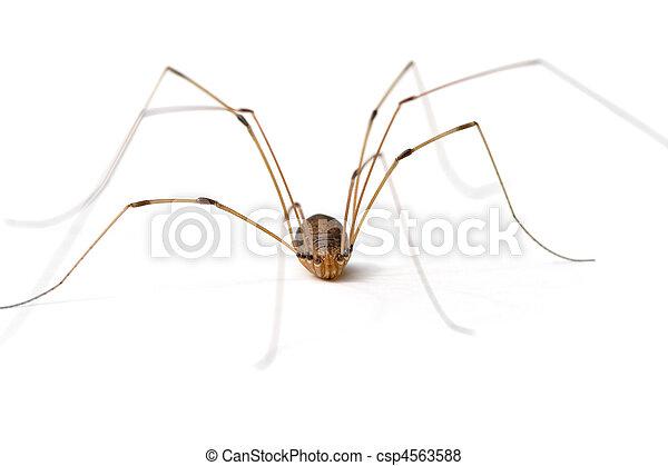 Daddy Long Legs Spider - csp4563588