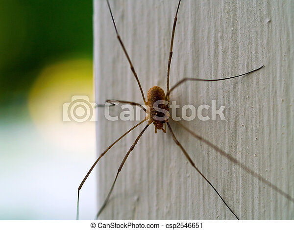 Daddy Longleg Spider - csp2546651
