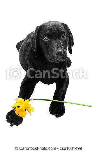 daffodi, chiot, paques - csp1031499