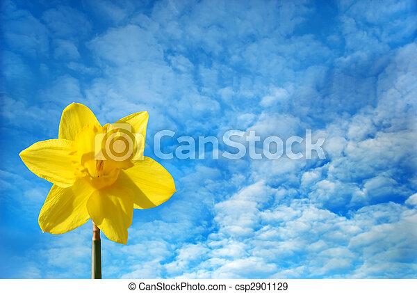 Daffodil against a blue sky - csp2901129