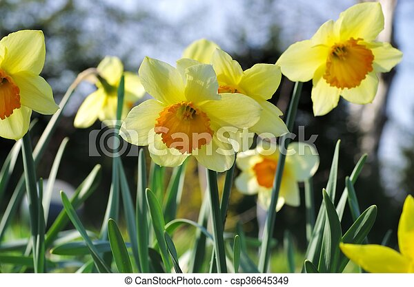 Daffodil Orangery - csp36645349
