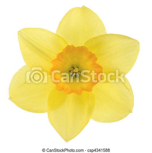 daffodil - csp4341588