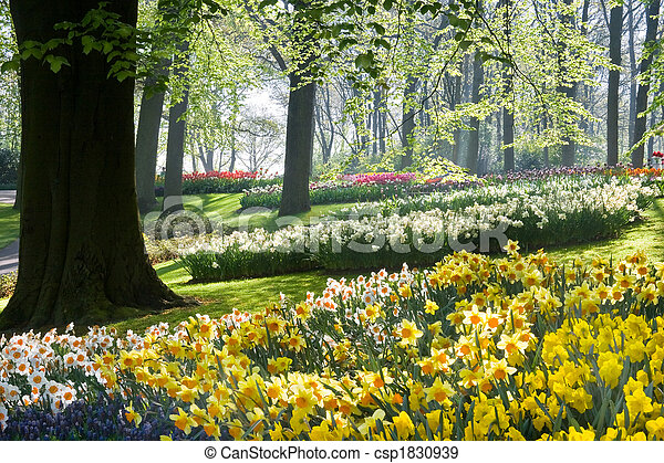 Daffodils and beechtrees in spring - csp1830939