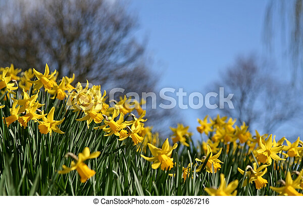 Daffodils in Spring - csp0267216