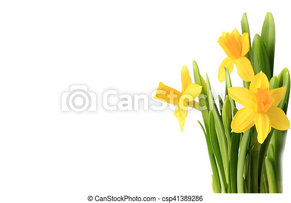 Daffodils isolated on white background spring flowers daffodils daffodils isolated on white background spring flowers csp41389286 mightylinksfo