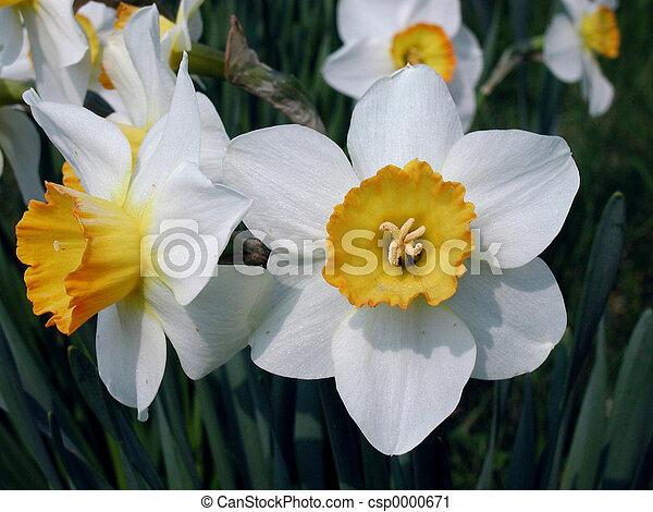 daffodils - csp0000671