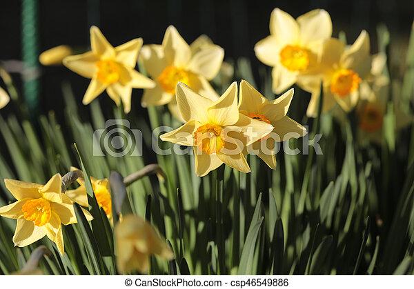 daffodils shallow depth of field springtime - csp46549886