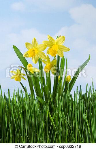 Daffodils - csp0632719