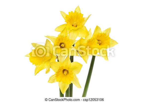 Daffodils - csp12053106
