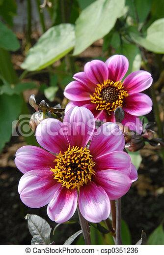 dahlia, fleurs - csp0351236