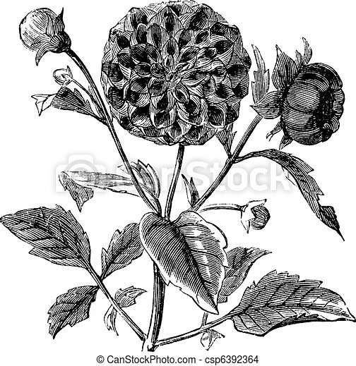Dahlia or Dahlia sp., vintage engraving - csp6392364