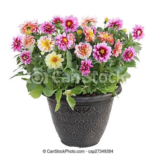 dahlia fleur en pot