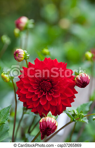Dahlia red flower in garden full bloom closeup - csp37265869