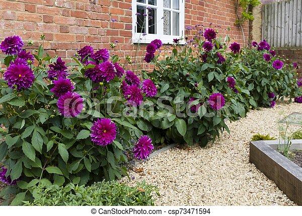Dahlias In A Garden Dahlia Flowers Growing In A Border Of A Garden