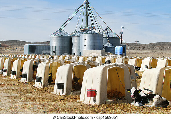 Dairy Calves - csp1569651