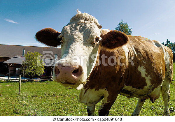 dairy cows on summer pasture - csp24891640