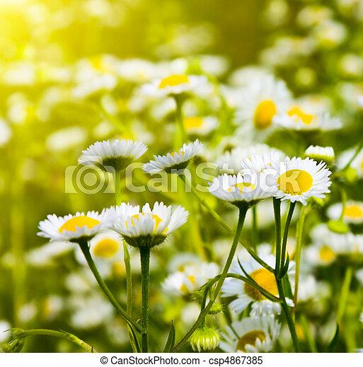 daisies in a field - csp4867385
