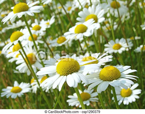 daisies meadow - csp1290379