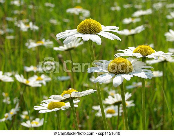 daisies meadow - csp1151640