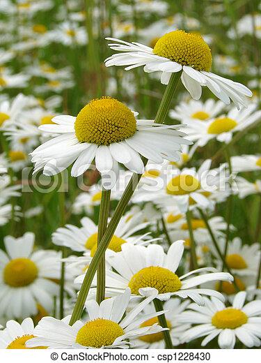 daisies meadow - csp1228430