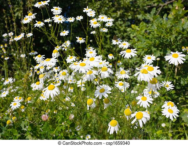 daisies, meadow - csp1659340
