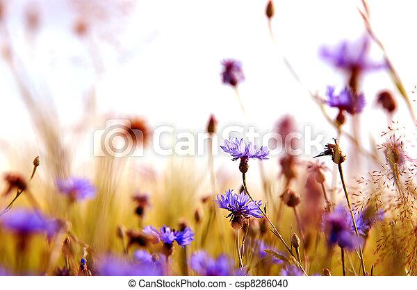 Daisies' meadow - csp8286040