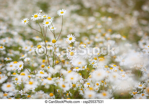 daisies meadow - csp25537531