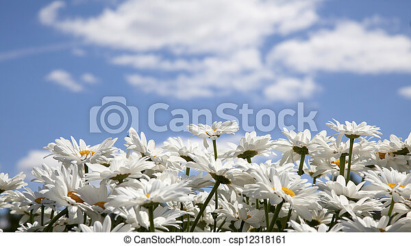 daisies on a background of the sky with clouds - csp12318161