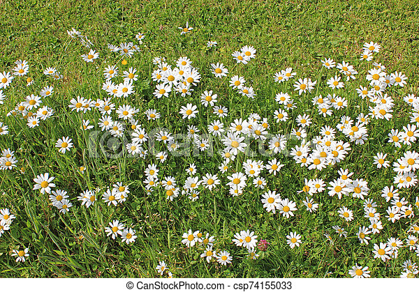 daisies on a meadow in summer - csp74155033