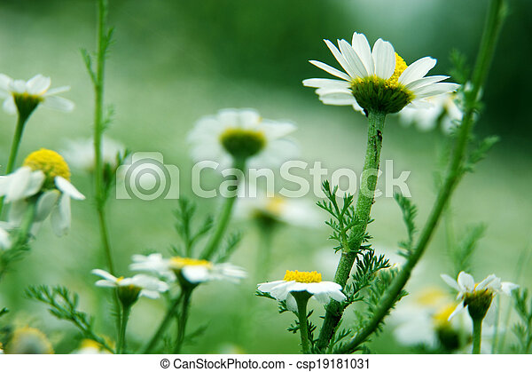 Daisies on meadow - csp19181031