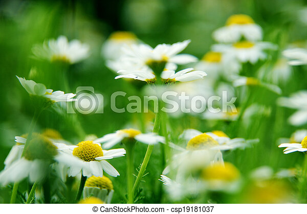 Daisies on meadow - csp19181037