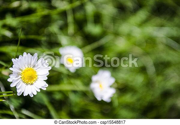 daisies - csp15548817