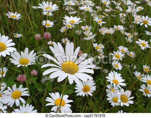 daisies - csp21791976