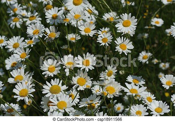 daisies - csp18911566