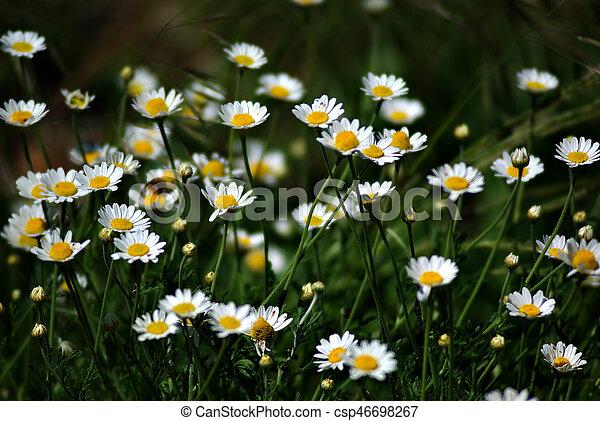 Daisies - csp46698267