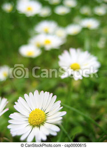 daisies - csp0000615