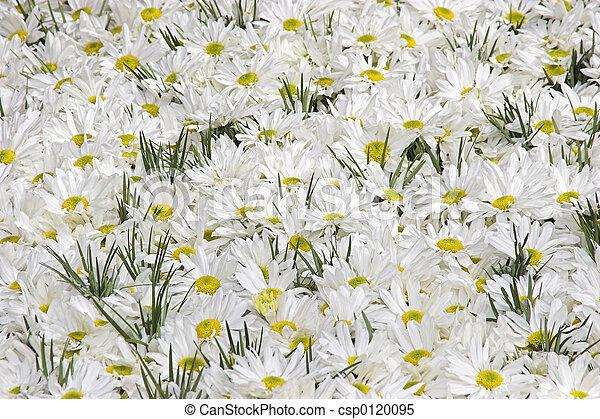 Daisies - csp0120095