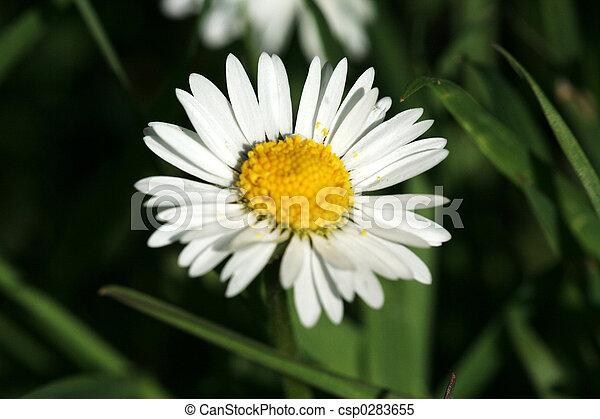daisies - csp0283655
