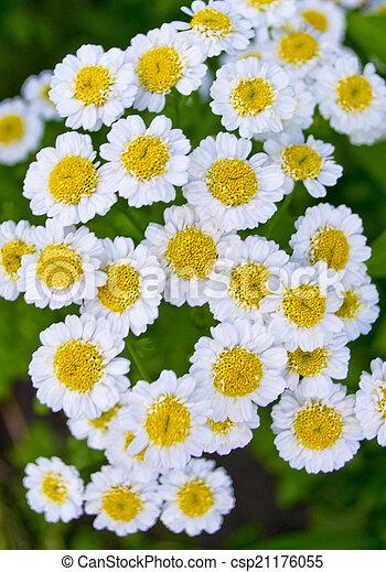 daisies - csp21176055
