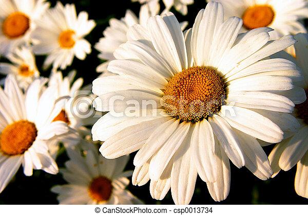 Daisies - csp0013734
