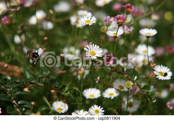 daisies - csp0811904