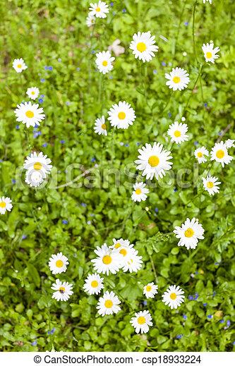 daisies - csp18933224