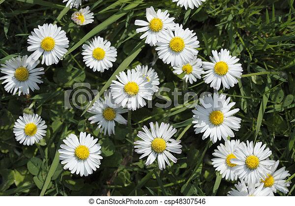 Daisies - csp48307546