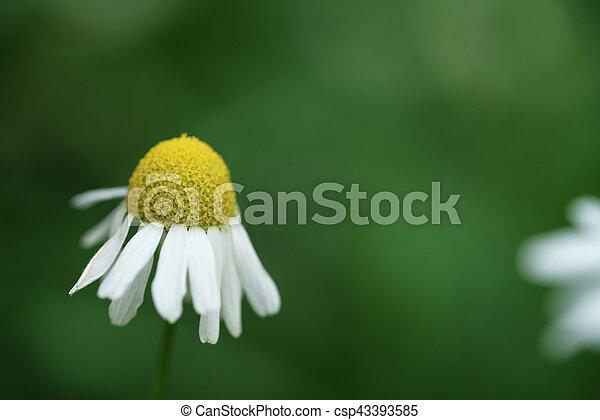 daisy flower on summer meadow closeup macro shot - csp43393585
